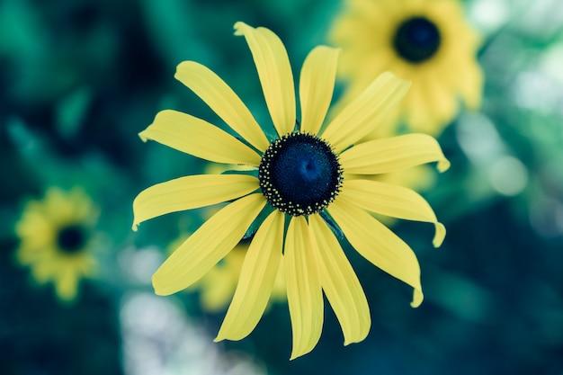 Rudbeckia hirta gialla con lunghi petali e cuore nero su sfondo verde