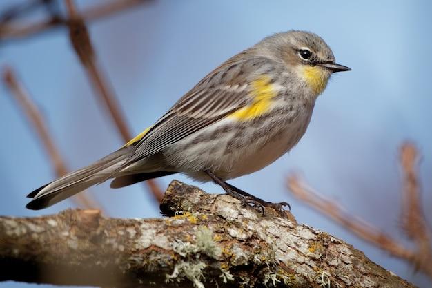 Warbler dalla groppa gialla su un ramo di albero