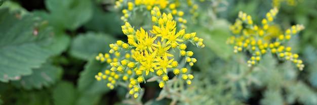 Giallo sedum reflexum o sedum rupestre fiore in piena fioritura su una superficie di foglie verdi