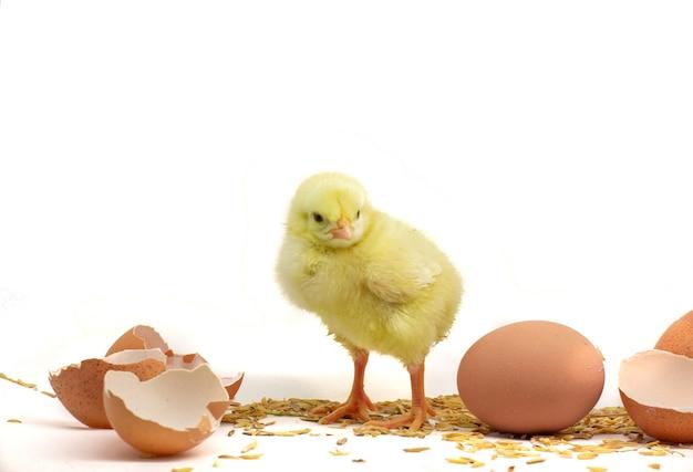 Pulcino giallo con uovo isolato su sfondo bianco