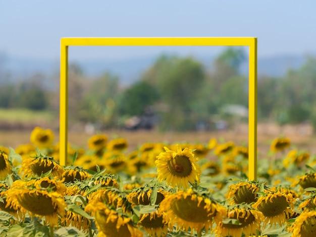 Cornice quadrata gialla nel giardino di girasoli in fiore, decorazione, scena rurale