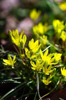 Il fiore giallo della stella di betlemme nel bosco