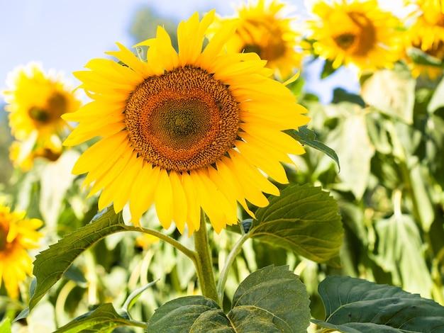 Girasole giallo che fiorisce sul backgraound del cielo blu sul giardino. impianto biologico ed ecologico per la produzione di olio alimentare per uno stile di vita sano