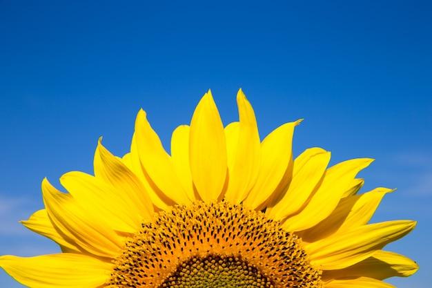 Girasole giallo sopra il cielo blu