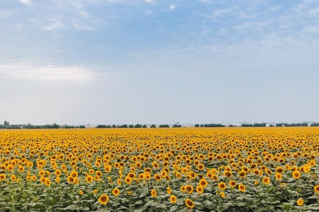 Paesaggio rurale del giacimento di girasole giallo. tempo di raccolta agricoltura agricoltura produzione di olio. oli sani
