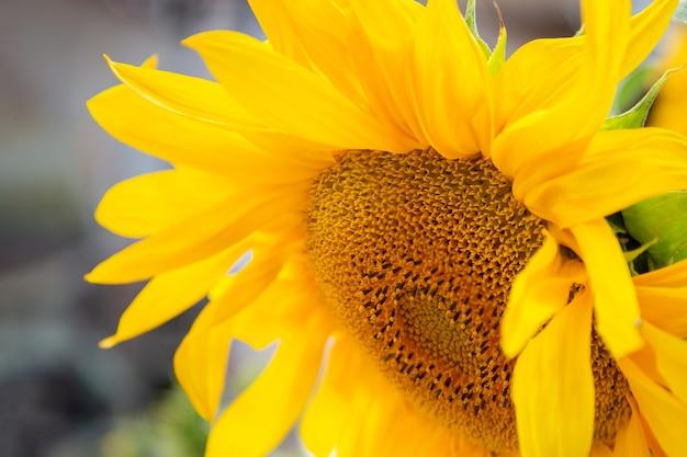 Fine gialla dell'infiorescenza del girasole su