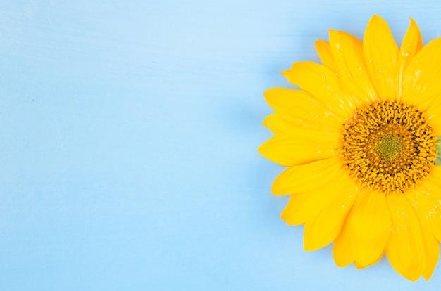 Girasole giallo macro girato su sfondo blu
