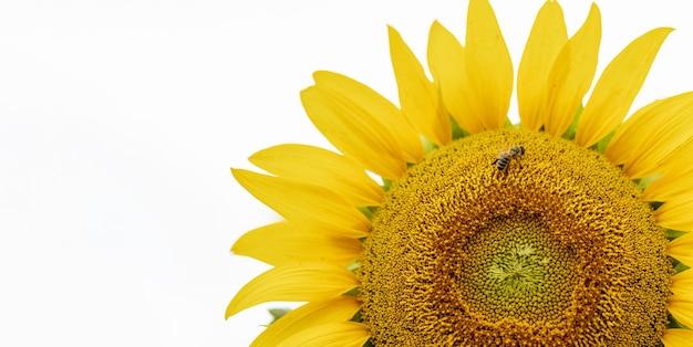Girasole giallo con un'ape che raccoglie il polline su uno sfondo bianco da vicino
