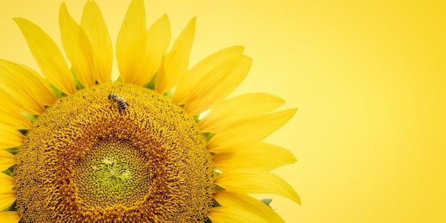 Girasole giallo con un'ape che raccoglie polline su uno sfondo giallo da vicino