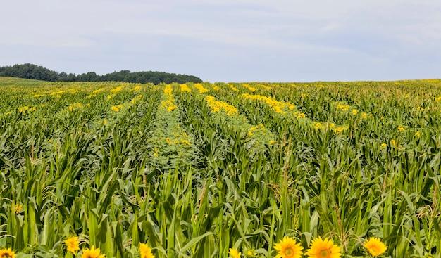 Girasoli gialli Foto Premium