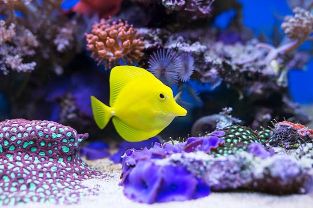 Pesce giallo tang in acquario