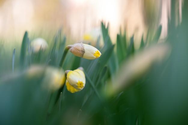Fiori gialli teneri del narciso che fioriscono nel giardino di primavera