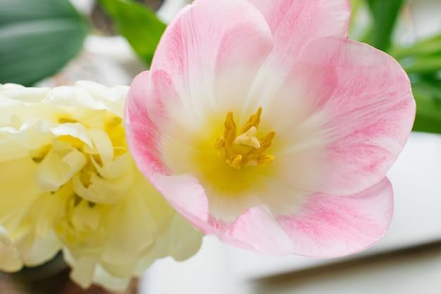 Primavera gialla in spugna e primo piano rosa e bianco del tulipano. sfondo floreale per un grande spazio. biglietto d'auguri