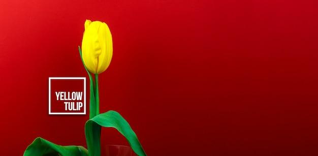 Foto macro di fiori di tulipano giallo su sfondo rosso con segno di testo, floristica e studio di fiori, banner e spazio di copia