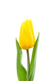 Tulipano giallo isolato su sfondo bianco