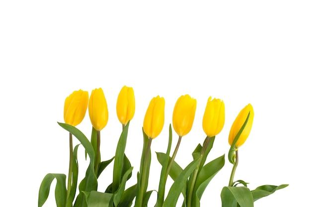 Fiori di tulipani gialli isolati su spazio bianco.