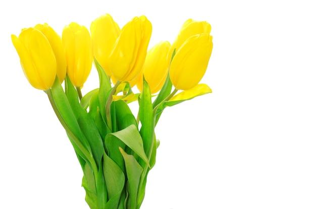 Tulipani gialli isolati sulla parete bianca