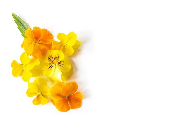 Composizione creativa nel fiore giallo della pansé della viola. fiori variopinti della molla isolati su fondo bianco.