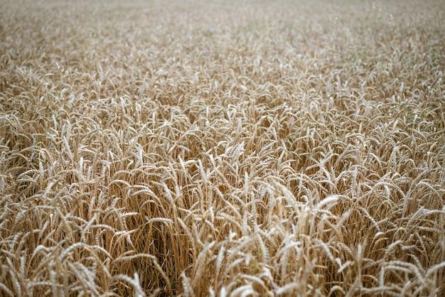 Le belle spighette del campo di grano giallo si chiudono sul fuoco molle