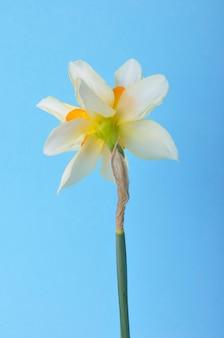 Narcisi gialli e bianchi su sfondo blu