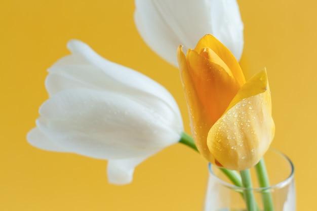 Tulipani gialli e bianchi su sfondo giallo da vicino