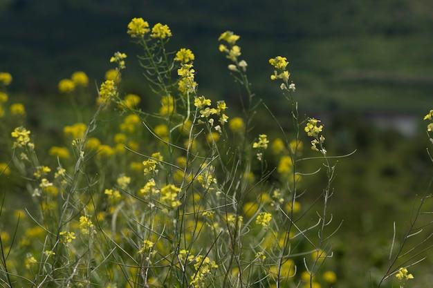 Fiori di campo gialli vicino ai laghi dei campi e sotto cieli blu e nuvole spesse