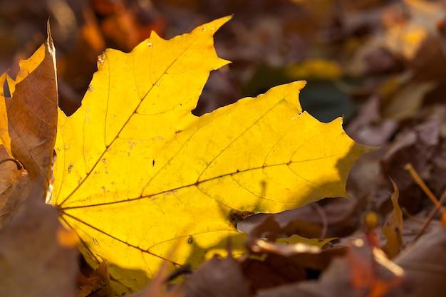 Foglie di acero ingiallite, close-up di ingiallite in autunno, la foglia di acero, stagione autunnale,