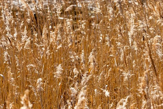 Piante ingiallite in natura, l'erba cresce vicino a laghi e fiumi