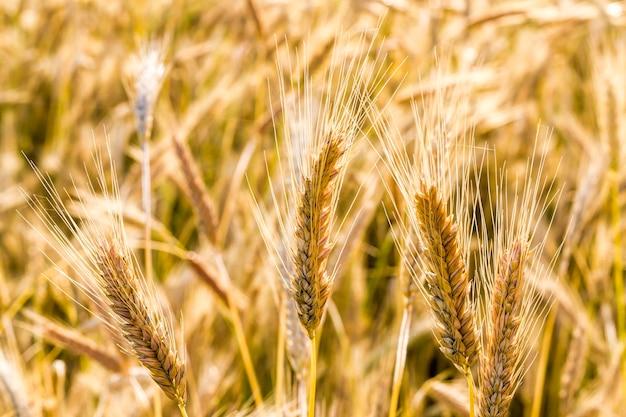 Spighette ingiallite di grano nel clima caldo nuvoloso estivo