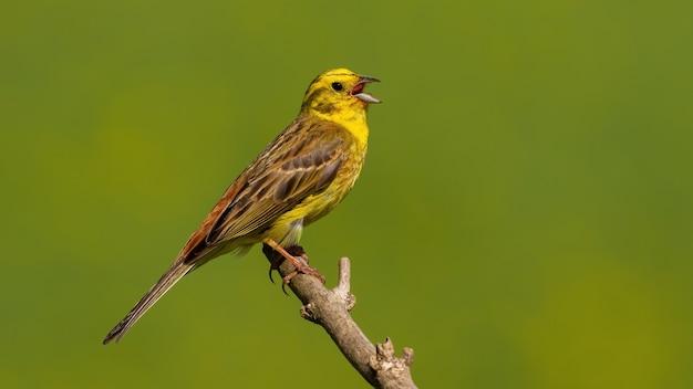 Zigolo giallo che canta sul ramo nella soleggiata natura estiva