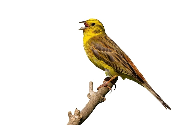 Yellowhammer cantando su legno isolato su sfondo bianco