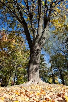 Foglie ingiallite sugli alberi che crescono nel parco della città, stagione autunnale, un piccolo dof,