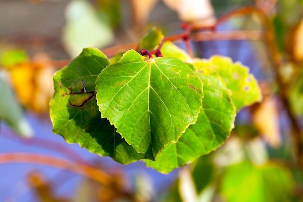 Foglie ingiallite sugli alberi di tiglio che crescono nel parco della città, stagione autunnale, un piccolo dof,