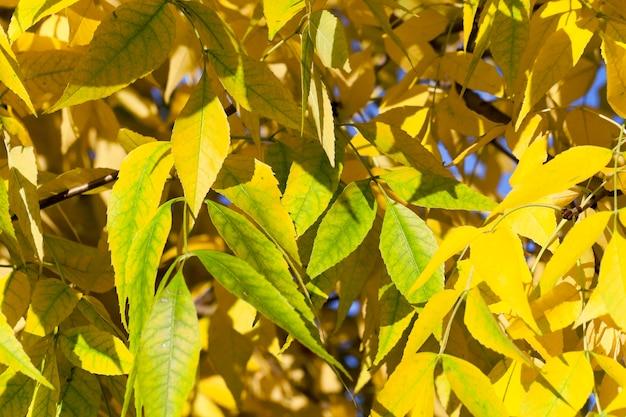 Foglie ingiallite sugli alberi foglie ingiallite sugli alberi che crescono nel parco cittadino, stagione autunnale