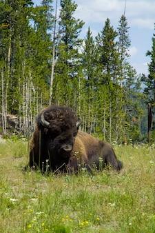 Parco nazionale di yellowstone, bisonte lungo il fiume firehole a yellowstone.