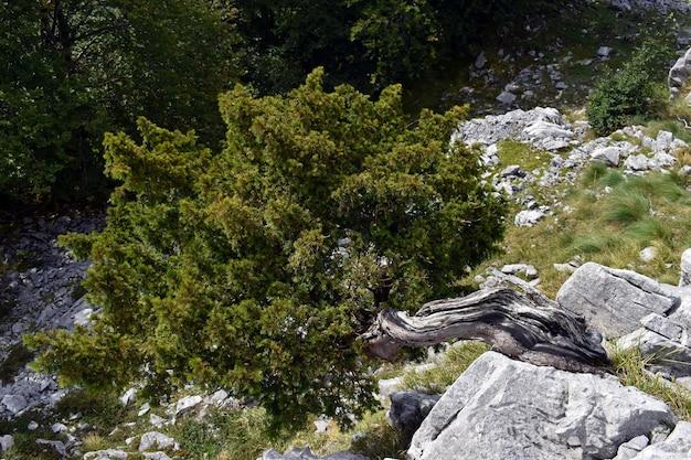 Tasso (taxus baccata) che cresce storto in una roccia calcarea