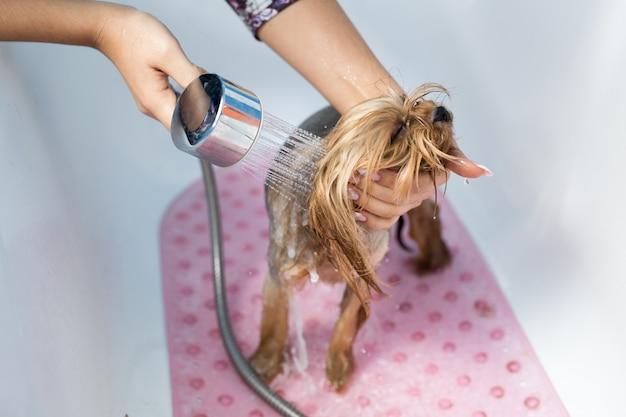 Yorkshire terrier in bagno nel salone di bellezza per cani. prenditi cura del primo piano dello yorkshire terrier.
