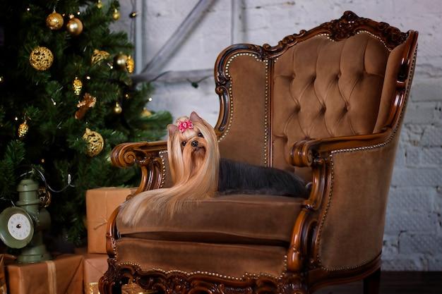 Yorkshire terrier su una sedia