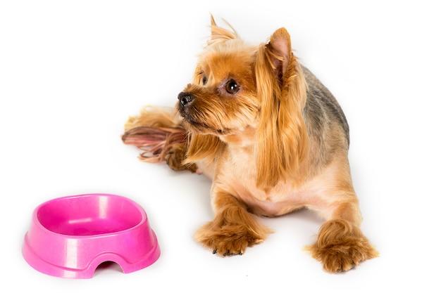Il cane dell'yorkshire terrier si trova vicino alla sua ciotola del cibo