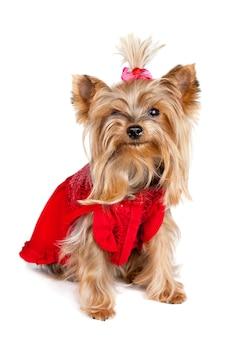 Cane dell'yorkshire terrier in vestiti rossi isolati su bianco
