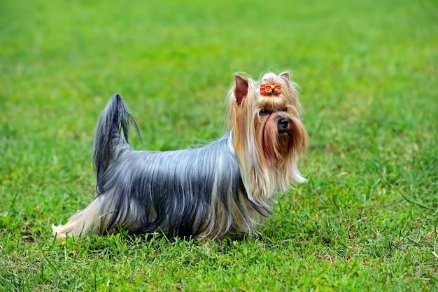 Yorkshire terrier a una mostra canina in primavera