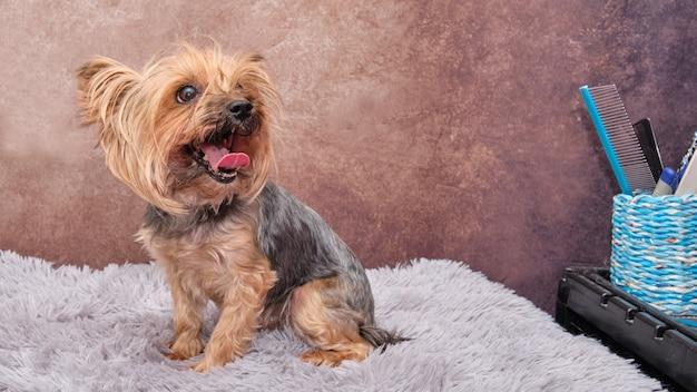 Un cane yorkshire terrier si siede su un tappeto grigio e guarda indietro.