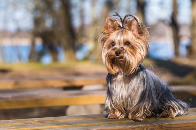 Fine di seduta del cane dell'yorkshire terrier su sulla natura