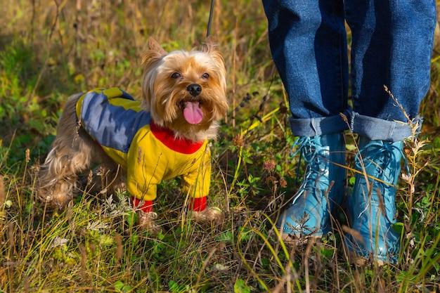 Yorkshire terrier cane per passeggiate, si trova vicino ai piedi della padrona. il cucciolo ha tirato fuori la lingua