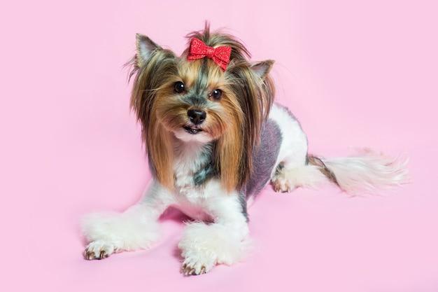 Cane yorkshire terrier con una bella acconciatura sul rosa
