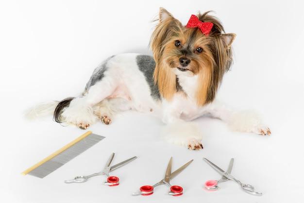 Yorkshire terrier cane con taglio di capelli glamour e forbici da toeletta