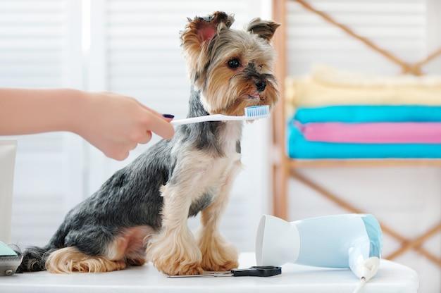 Yorkshire terrier che ottiene pulizia dei denti con uno spazzolino da denti