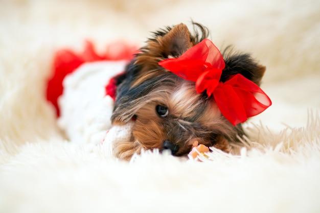 Il cucciolo di yorkshire terrier di mini mesi nasconde giocosamente il naso in una leggera coperta soffice