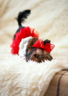 Il mini cucciolo di yorkshire terrier nasconde scherzosamente il naso in una leggera coperta soffice vestita con un fiocco rosso sulla testa