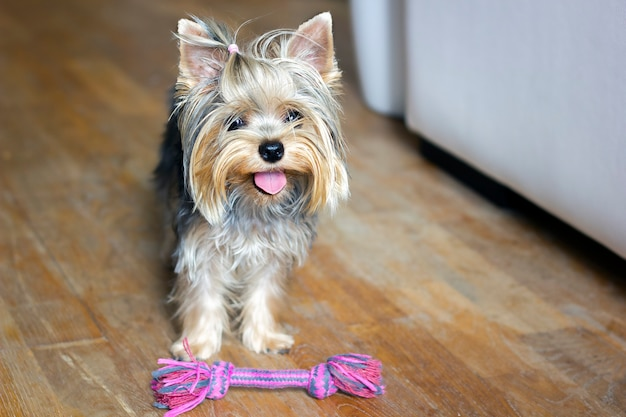 Cucciolo di yorkshire terrier che gioca con un giocattolo per cani in corda di cotone colorato